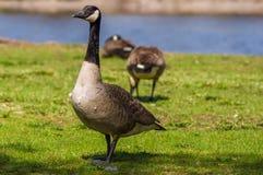 Gęsi odprowadzenie blisko do jeziora z innymi gooses behind Obraz Royalty Free