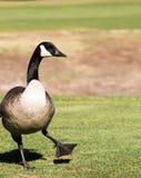 Gęsi taniec przy polem golfowym Obraz Royalty Free
