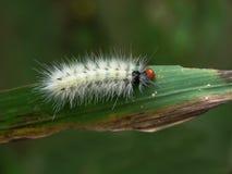 Gąsienica motyl Fotografia Royalty Free