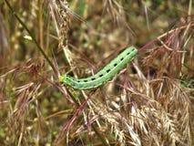 Gąsienica na trawie Zdjęcie Stock