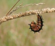Gąsienica w czekaniu Fotografia Stock