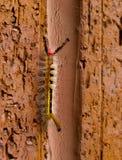 gąsienicowa wspinaczka Fotografia Stock