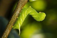 Gąsienicowy motyl Fotografia Stock