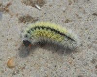 Gąsienicowy motyl Fotografia Royalty Free