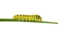 gąsienicowy swallowtail Obraz Stock