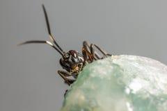 Gąsienicznik osa (Coelichneumon altówka) Zdjęcie Stock