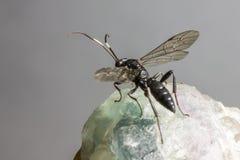 Gąsienicznik osa (Coelichneumon altówka) Obraz Royalty Free