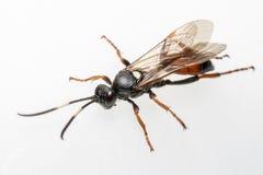 Gąsienicznik osa (Coelichneumon altówka) Zdjęcie Royalty Free