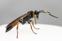 Gąsienicznik osa (Coelichneumon altówka) Obrazy Royalty Free