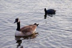 Gąska i coot na rzece Zdjęcie Stock