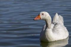 Gąska na jeziorze Fotografia Royalty Free