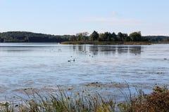 Gąski i kaczki karmi na St Lawrance rzece Zdjęcia Stock
