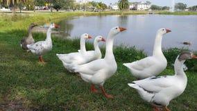 Gąski w centrum Melbourne Floryda zdjęcia stock