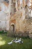 Gąski w terenie stary forteca Fotografia Royalty Free