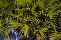 G?sty palmowy ulistnienie, nighttime, rostowy t?o zdjęcie stock