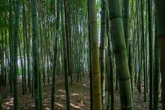 Gęsty Zielony Bambusowy las Zdjęcia Stock