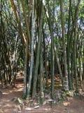Gąszcze bambus Obrazy Royalty Free