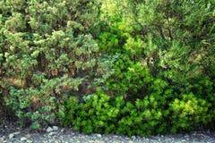 Gąszcze zielony krzak fotografia stock