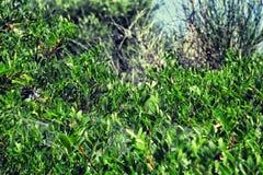 Gąszcze zielony krzak obrazy royalty free