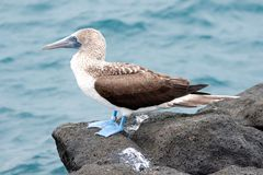 głupi kormorana Ecuador niebieskiego floreana wyspy Galapagos nebouxii punta footed sula obraz stock