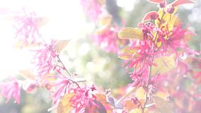 G?zewnika Acaciae rewolucjonistki pustyni kwiaty Pi?kny kwiat w wiatrze w ogr?dzie S?o?ca ?wiecenie 4k, zwolnione tempo zbiory wideo