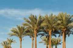 Gałąź daktylowe palmy pod niebieskim niebem w Egipt fotografia royalty free