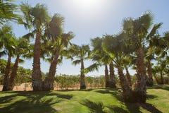 Gałąź daktylowe palmy pod niebieskim niebem w Egipt obrazy stock