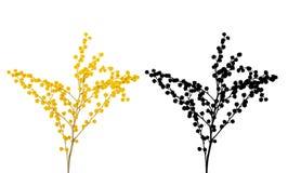 Gałąź mimoza z kwiatami i liśćmi odizolowywającymi na białym tle zdjęcie stock
