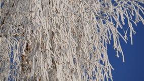 Gałąź śnieżysta brzoza przeciw niebieskiemu niebu upadek kolei sylwetki ślady śnieżni szkolą niejasnego zbiory