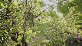 Gałąź świeże niedojrzałe morele Żniwo organicznie owoc na gospodarstwie rolnym zdjęcie wideo