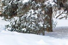 Gałąź świerczyna pod śniegiem w zimie nowy rok, Zdjęcia Royalty Free