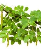 Gałąź żółta akacja (Ð ¡ aragana arborescens) zdjęcie royalty free