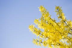 Gałąź żółte kwiatonośne forsycje Fotografia Stock