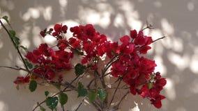 Gałąź Afrykański bodziszka kwitnienie z pięknymi czerwonymi kwiatami zamykają up Okwitnięcie bodziszek zbiory