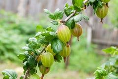 Gałąź agrest z zielonymi jagodami i liśćmi w ogródzie Zdjęcie Stock