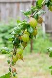 Gałąź agrest z zielonymi jagodami i liśćmi w ogródzie Zdjęcia Stock