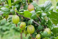 Gałąź agrest z zielonymi jagodami i liśćmi w ogródzie Obraz Stock