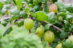 Gałąź agrest z zielonymi jagodami i liśćmi w ogródzie Fotografia Stock