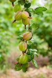 Gałąź agrest z zielonymi jagodami i liśćmi w ogródzie Obrazy Stock