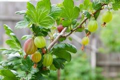 Gałąź agrest z zielonymi jagodami i liśćmi w ogródzie Obrazy Royalty Free