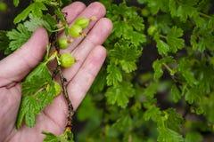 Gałąź agresta Ribes uva-crispa z zielony niewyrobionym Obrazy Royalty Free