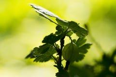 Gałąź agresty z jagodami Zdjęcie Royalty Free