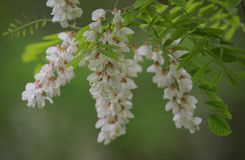 Gałąź akacja Kwitnie w wiosna czasie fotografia stock