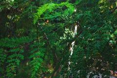 Gałąź akacja z zielonymi liśćmi zdjęcia royalty free