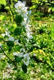 Gałąź Apple kwitnie na zielonym tle Fotografia Royalty Free