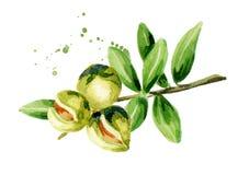 Gałąź argan drzewo royalty ilustracja