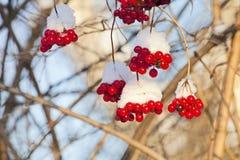 Gałąź ashberry poniższy śnieg Obraz Royalty Free