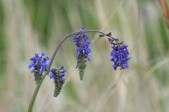Gałąź błękita pola kwiaty Makro- Obraz Royalty Free