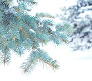 Gałąź błękitna świerczyna Fotografia Royalty Free