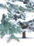 Gałąź błękitna świerczyna Zdjęcia Royalty Free